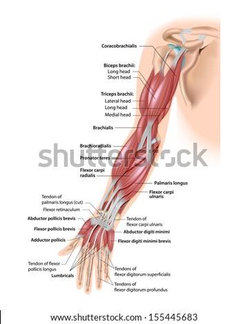 Muscles Anterior Upper Arm Diagram - Data Wiring Diagrams •