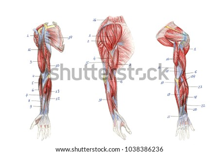 Muscles Arm Graphic Anatomy Stock Illustration 1038386236 - Shutterstock