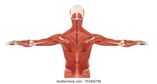 Muscle anatomy images stock photos vectors shutterstock muscles of the back anatomy 3d rendering ccuart