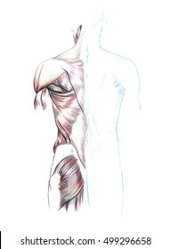 Muscles of back, shoulders and buttocks, Hand drawn medical illustration drawing with imitation of lithography