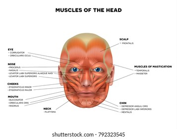 Muscles of the face and the name of each muscle, detailed bright anatomy isolated on a white background