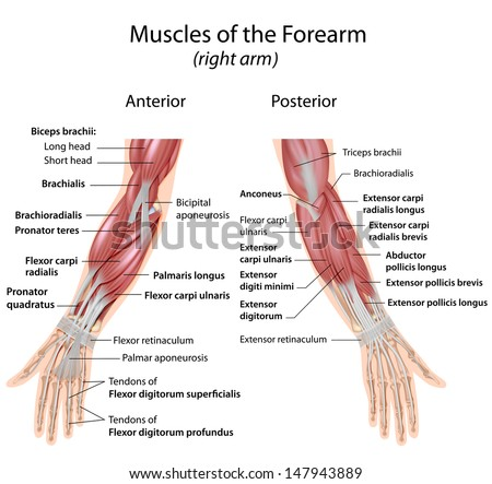 Muscles Forearm Anterior Posterior View Stock Illustration 147943889