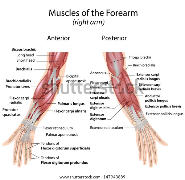 Muscles of forearm anterior and posterior view