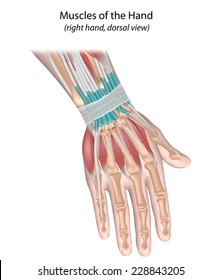 Muscles of hand, back view, unlabeled.