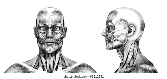 Muscles of the head - front and side - 3D render. Special shaders were used in the rendering process, to create the appearance of a pencil drawing.