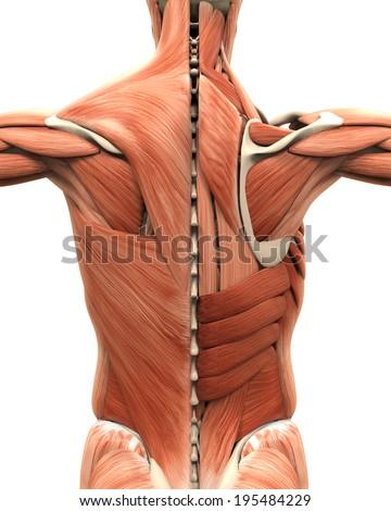 Muscular Anatomy Back Stock Illustration 195484229 Shutterstock
