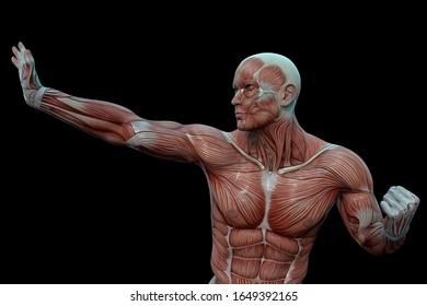 防御ポーズの筋肉質の男性(解剖学的視覚)。3Dイラスト