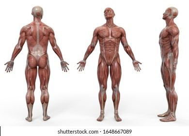 Muscular man front and back view anatomical vision. 3D illustration