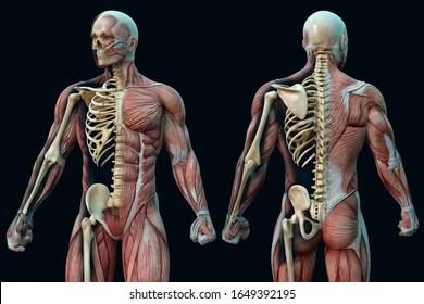筋肉質の男の前後の視界解剖学的視力。3Dイラスト