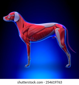 Muscular System of the Dog