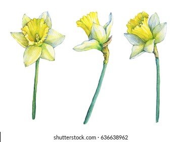 Narcissus (common names daffodil), flowering plant with yellow flowers. Hand drawn watercolor painting on white background.