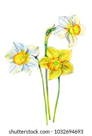 Narcissus flower watercolor isolated on white background, hand drawn daffodil bouquet illustration, Floral design for elements patterns, greeting card, wedding invitation, florist shop, beauty salon