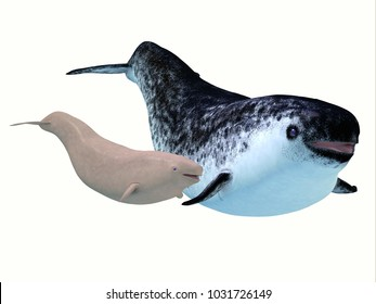 Narwhal Female Whale with Calf 3d illustration - The Narwhal is a medium sized toothed whale that lives in social family pods of several individuals.