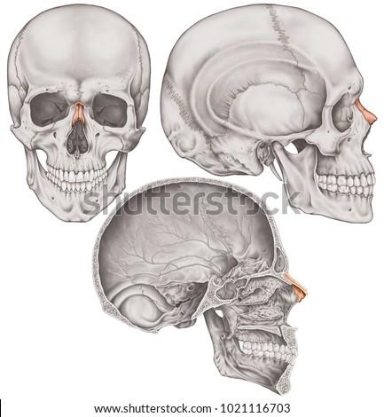 Nasal Bone Cranium Bones Head Skull Stock Illustration 1021116703 ...