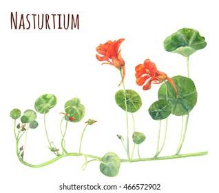 Nasturtium, orange, red flowers and green leaves, watercolor botanical illustration, vintage