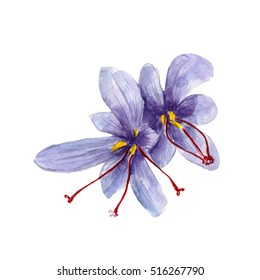 The national spice saffron on white background, watercolor illustration in hand-drawn style.