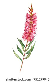 Native Australian Bottlebrush flower branch hand painted in watercolour. Red and green vibrant colours.