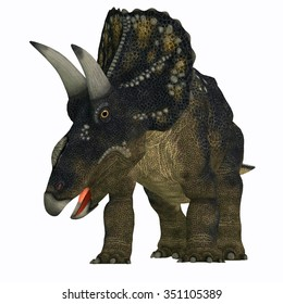 Nedoceratops on White - Diceratops is a herbivorous ceratopsian dinosaur that lived in the Cretaceous Period of Wyoming, North America.