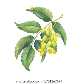 Neem tree branches with green leaves and fruits (Azadirachta indica, nimtree or Indian lilac). Hand drawn botanical watercolor painting illustration