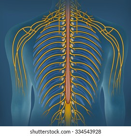 Nerve branch of the spine