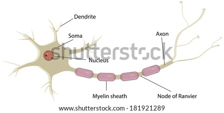 nerve cell neuron labeled diagram 450w 181921289 nerve cell neuron labeled diagram stock illustration royalty free