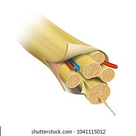 Nerve Structure (Anatomy)