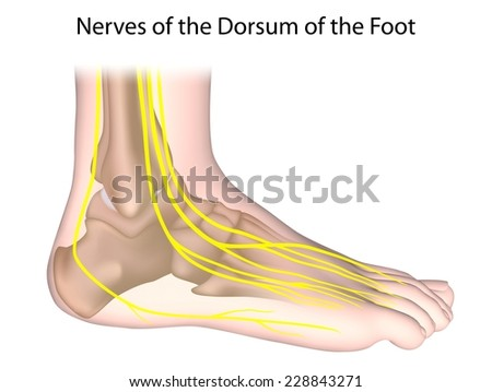 Nerves Foot Unlabeled Stock Illustration 228843271 - Shutterstock