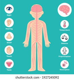 Nervous system infographic chart. Brain and nerves on body silhouette, senses and perception icons. Health and medical illustration.