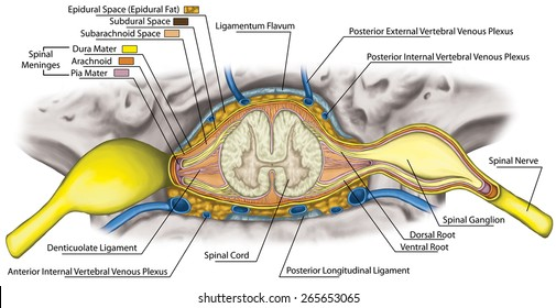 Dura Spine Anatomy Diagram - Trusted Wiring Diagrams •