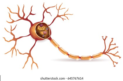 Neuron, nerve cell detailed anatomy cross section illustration with organelles