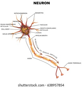 Nerve cell anatomy diagram information of wiring diagram neuron nerve cell that main part stock vector royalty free rh shutterstock com nerve cell diagram detailed typical nerve cell diagram ccuart Choice Image