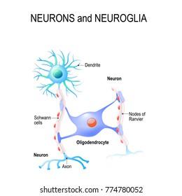 neurons and neuroglia. oligodendrocyte
