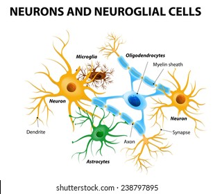 Neurons and neuroglial cells. Glial cells are non-neuronal cells in brain. There are different types of glial cells: oligodendrocyte, microglia, astrocytes and Schwann cells