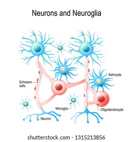Neurons and non-neuronal cells in brain. oligodendrocyte, microglia, astrocytes and Schwann cells. diagram for educational, medical, biological and science use
