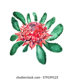 New South Wales waratah (Telopea speciosissima) pink flowers and leaves  (floral emblem of Queensland, Australia), isolated set hand painted watercolor illustration