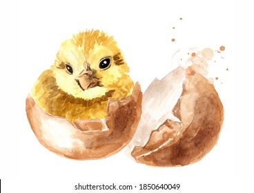 Nouveau-né, petit poulet jaune moelleux haché à partir d'un oeuf, illustration à l'aquarelle dessinée à La Main isolée sur fond blanc