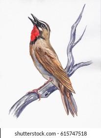 Nightingale, watercolor illustration on white background.
