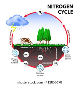 Nitrogen cycle. Illustration of the flow of nitrogen through the environment.