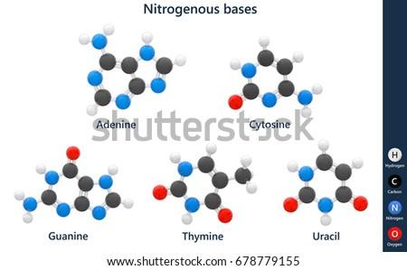 nitrogenous bases dna rna structural chemical stock illustration