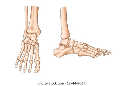 normal anatomy of the left ankle region, ankle, foot bone anatomy