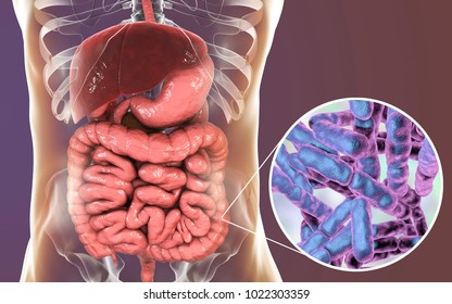 Normal flora of large intestine, bacteria Bidifobacterium, 3D illustration. Intestinal microbiome. Probiotic bacterium