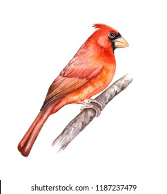 Northern Red Cardinal. Bird isolated on white background. Watercolor. Illustration. Template. Clipart. Close-up.