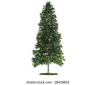 Ilustraciones Imágenes Y Vectores De Stock Sobre Norway Spruce Tree