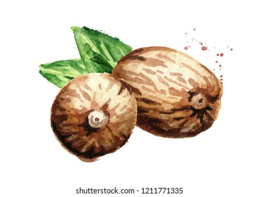 Nutmeg nut. Watercolor hand drawn illustration,  isolated on white background
