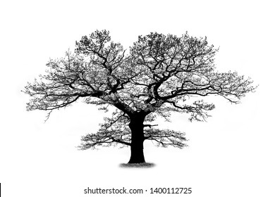 Oak tree silhouette isolated on white background