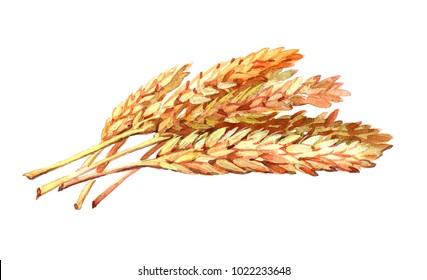 Oats plant. Watercolor illustration isolated on white background.