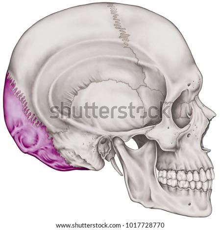 Occipital Bone Cranium Bones Head Skull Stock Illustration