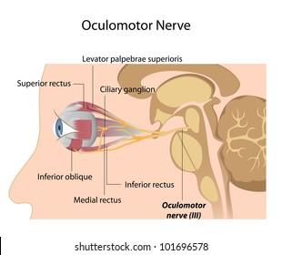 The Oculomotor nerve