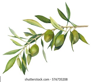 An olive branch with fruit and leaves. Isolated object on a white background. Watercolor illustration.