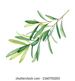 Olive branch with leaves. Watercolor illustration. Isolated object on white background.